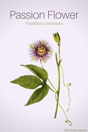 Passion Flower Health Benefits And Side Effects With Images Passion Flower Passion Flower Herb