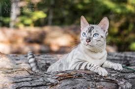 Snow Bengal Cat Google Search White Bengal Cat Bengal Cat For Sale Bengal Cat