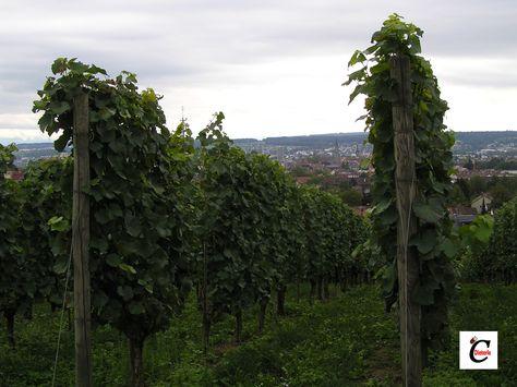 Weinstöcke