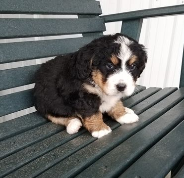 Litter Of 6 Bernedoodle Puppies For Sale In Arthur Il Adn