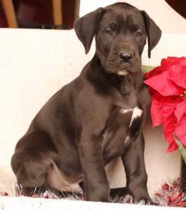 Reno Great Dane Puppy For Sale In Millersburg Oh Lancaster Puppies In 2020 Great Dane Puppy Puppies For Sale Great Dane
