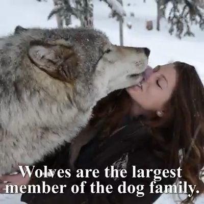For Wolves 🐺 Lovers ❤️♥️  #Lovers #wolves   		For Wolves 🐺 Lovers ❤️♥️   Wolves are so amazing and friendly. Please follow Animals Board for more videos