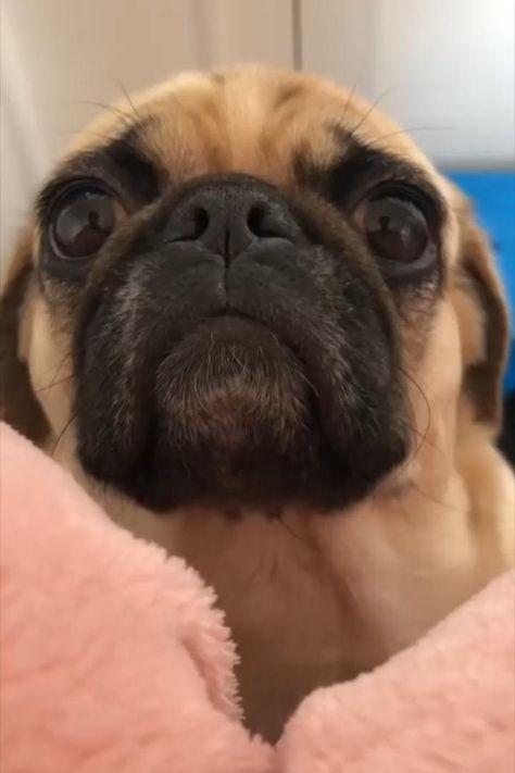 900 Pugs Ideas In 2021 Pugs Cute Pugs Pug Love