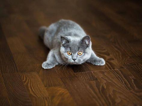 Zehn Anti Langeweile Tipps Fur Katzen In 2020 Kurzhaar Katzen Britisch Kurzhaar Katzen