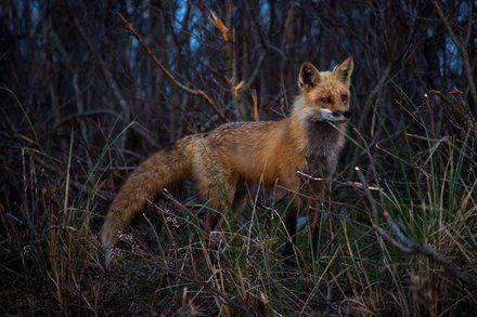 Trapping Foxes To Save Plovers Sets Off Showdown At Jersey Shore By Rick Rojas Plover Jersey Shore Sea Birds