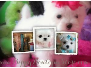 Maltese Puppies For Sale Florida We Ship Micro Minis Tcups Some Of The Smallest In The Wo With Images Maltese Puppy Teacup Puppies Maltese Maltese Puppies For Sale