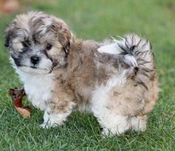 Pedigree Lhasa Apso Puppy Lhasa Apso Teddy Bear Dog Most