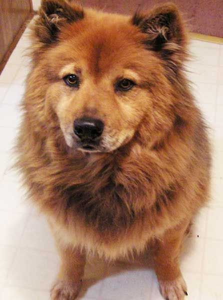 German Chow German Shepherd Chow Chow German Shepherds Are
