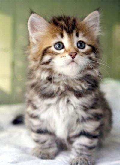 Trendy Cute Cartoon Cats With Big Eyes Kittens Cutest Cute Cats Siberian Kittens
