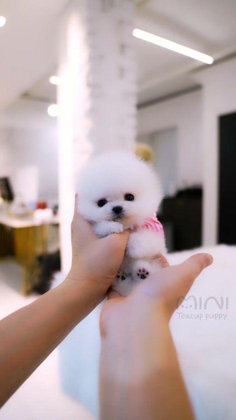 White and Tiny Teacup Pomeranian