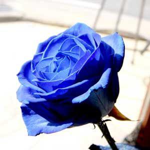 Arti Mawar Biru Arty Flowers Daun