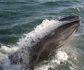 Iwc Rejects Japan S Commercial Whaling Bid Humane Society International Whale Iwc Japan