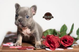 Lilac Tan Tri Female French Bulldog Frenchie Frenchbulldog