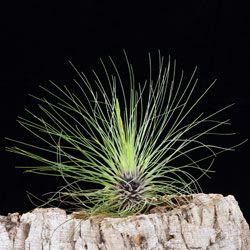 Achat De Tillandsia Plante Sans Terre Racine Crampon Plantes