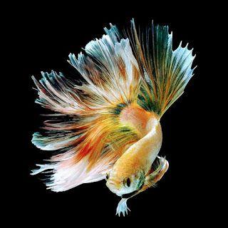 Paling Keren 13+ Gambar Wallpaper Ikan Cupang - Rona Wallpaper