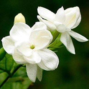 The Seven Secrets You Will Never Know About Where To Buy Flower Bulbs Near Me Where To Buy Flower Bulbs Near Me Jasmine Plant Jasmine Plant Indoor Fragrant Plant