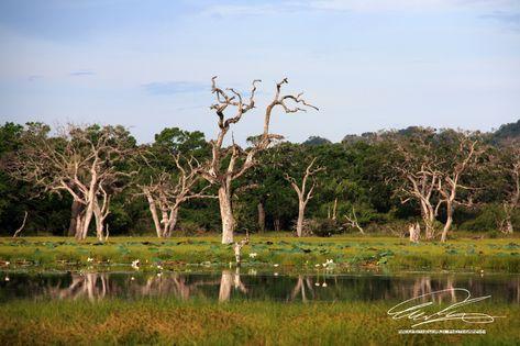 #landscapephotography #landscapelovers #photography #photographylovers #SriLanka #swamp #wetland #dead #trees #nature #NaturePhotography #nofilter #nofilterneeded #lake #reflection #tourism #nationalparks #nationalpark #vacation