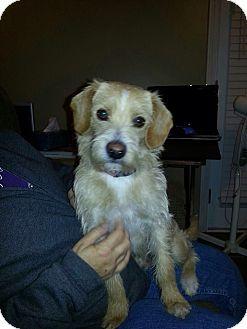 Prairieville, LA - Wirehaired Fox Terrier Mix. Meet Rusty a Dog ...
