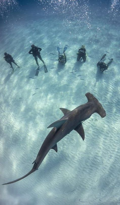 Bimini is a shark divers paradise in Bahamas. In no time of shark diving you will find Great Hammerheads, Reef Sharks , Lemon Shark with our PADI Dive team. Shark Diving, Reef Shark, Scuba Diving Gear, Cave Diving, Whale Sharks, Megalodon, Hammerhead Shark, Photos Voyages, Ocean Creatures