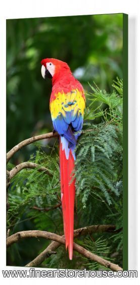 Print of Scarlet Macaw - Costa Rica