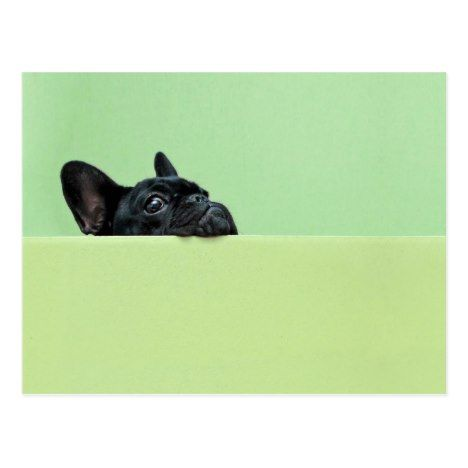French Bulldog Puppy Peering Over Wall Postcard Zazzle Com Bulldog Puppies French Bulldog Puppy Cute Baby Animals