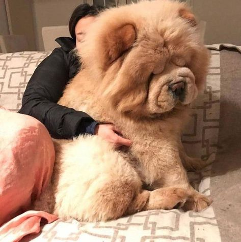155 Best Chow Chow Dog Names - Tiere - Puppies Perros Chow Chow, Chow Chow Dogs, Puppy Chow, Cute Dogs And Puppies, Baby Dogs, Puppies Tips, Doggies, Funny Animal Memes, Funny Animals