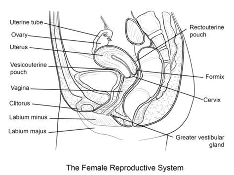Female Reproductive System Coloring Page Female Reproductive