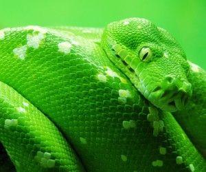 تفسير رؤية ثعبان اخضر في الحلم الافعى الخضراء في المنام Snake Wallpaper Snake Images Animal Wallpaper