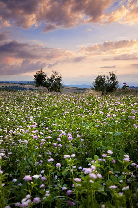 Wild Flowers Inspiration : Field of wildflowers at sunset near Pienza, Tuscany Italy.tn - Leading Flowers Magazine, Daily Beautiful flowers for all occasions