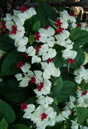 Bleeding Heart Vine Clerodendrum Thomasoniae Beautifulflowers Flowering Vines Plants Garden Vines
