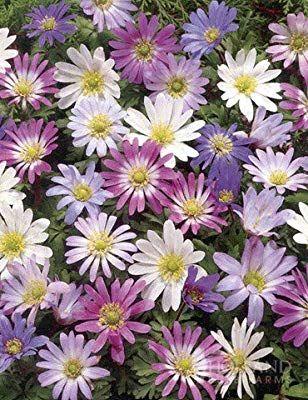 Grecian Windflower Anemone Blanda Anemone Bulb Flowers Hardy Plants