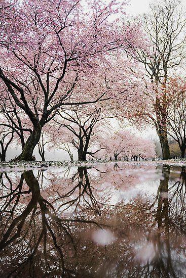 Sakura Tree Bloom Poster By Kiguni In 2021 Sakura Tree Blossom Trees Cherry Blossom Tree
