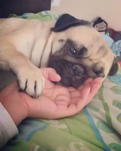 🤪❤️ PUG CRAZY! ❤️🤪 for @pugestrella #IAmPugCrazy #PugLove #PugLife #Pug #Pugs #PugLover #Pugsofinstagram #PugPuppies #PugPuppy #Pugstagram #PugLovers #PugNation #Mops #PugLoversClub #PugOfTheDay #Pugdog #Puggle