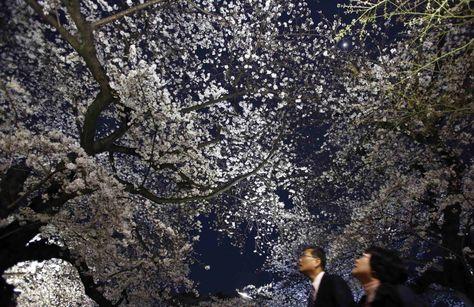 Passeggiata notturna tra i ciliegi in fiore a Tokyo. Lungo il viale del Chidorigafuchi lo spettacolo della fioritura dei sakura, i ciliegi giapponesi da fiore, esplode sotto i fari che illuminano gli alberi