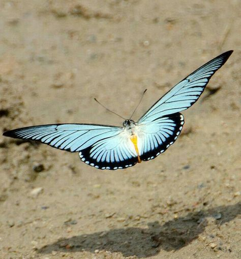 HELICONIUS ATHIS unmounted butterfly