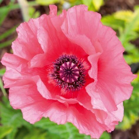 Giclee print poppy flower iv by joseph eta 20x20in products giclee print poppy flower iv by joseph eta 20x20in mightylinksfo