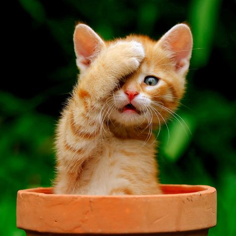 This ginger kitten named Garfield seemed to believe it was invisible as it covered one eye with a paw and sat in a flower pot to hide from a large dog.