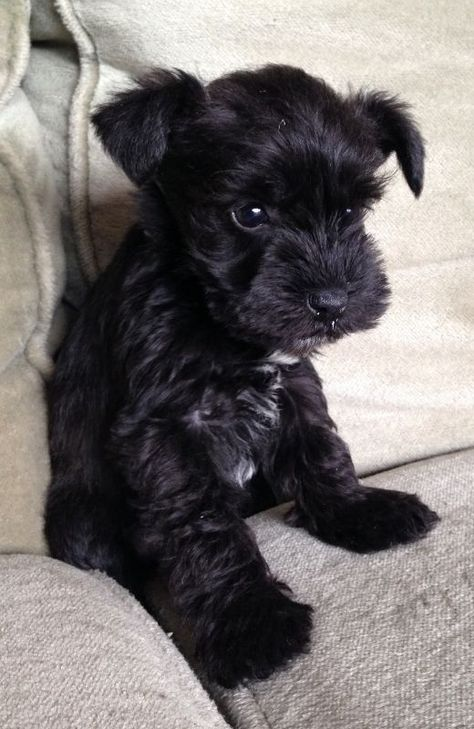 Ranked as one of the most popular dog breeds in the world, the Miniature Schnauzer is a cute little square faced furry coat. Cute Dogs Breeds, Cute Dogs And Puppies, Baby Puppies, Dog Breeds, Adorable Puppies, Doggies, Black Dogs Breeds, Teacup Puppies, Hot Dogs