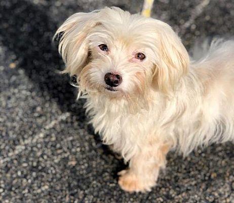 Rockaway Nj Maltese Meet Lillian Davis Lonestar A Pet For