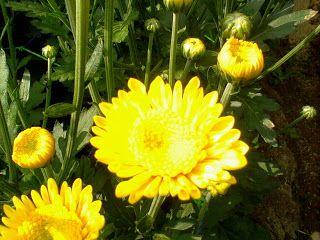 Filosofi Bunga Krisan Bunga
