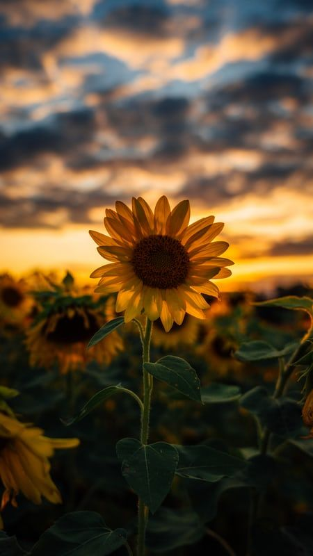 Selective Focus Photography Of Yellow Sunflower Field During Golden Hour Photo Free Pla Sunflower Wallpaper Best Nature Wallpapers Sunflower Iphone Wallpaper Cool sunflower hd wallpaper for iphone