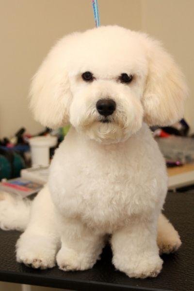 Images Of Bichon Poo Haircuts Poodle Haircut Bichon Grooming