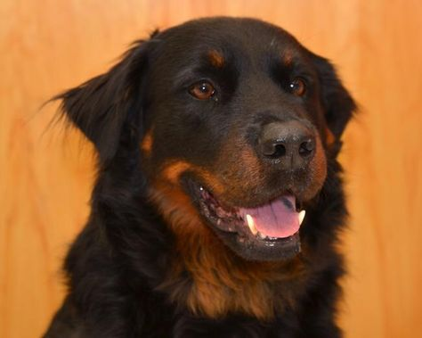 Adopt Rico On Buy Puppies Rottweiler Adoption
