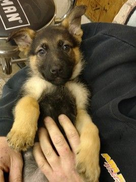 Litter Of 5 German Shepherd Dog Puppies For Sale In Saint Charles