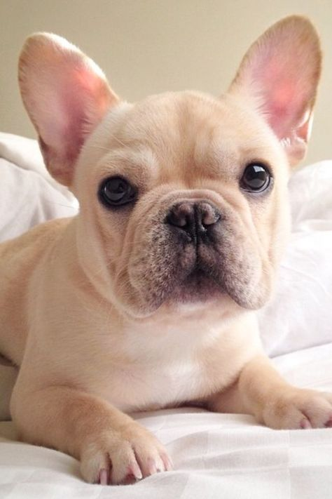 French Bulldog - They are intelligent and learn the tricks easily. The French bulldogs are also affectionate, alert and playful. The well trained French bulldogs can be exceptional apartment dogs, because they don't bark a lot.