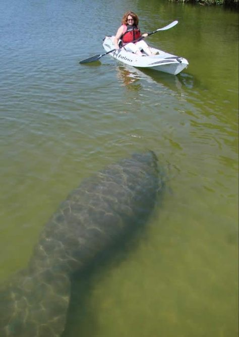 The best place to go and see Manatee, Dolphin and many species of birds while in the heart of the tropical Mangroves. World Class Kayak Nature tour, Cocoa Beach, FL