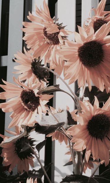 Pink Sunflowers Sunflower Wallpaper Flower Wallpaper Aesthetic Iphone Wallpaper