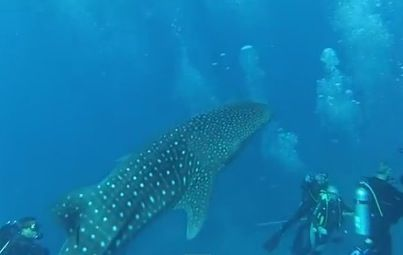 (WHALE SHARKS/AMAZING ANIMAL VIDEO) A group of divers got an unsuspected visitor while doing a safety stop. A friendly whale shark decided to stop by and say hello.