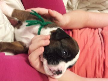 Litter Of 8 Boxer Puppies For Sale In Tulsa Ok Adn 67118 On