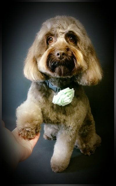 Pin By Mypetgroomer Co Uk On Cockapoo Mypetgroomer Co Uk With
